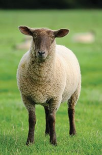 Maximising returns from store lamb production: diet advice and the role of Actisaf live yeast