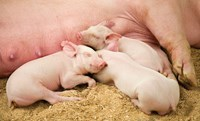 Actisaf supplementation of piglets post-weaning