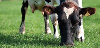 Fresh grazing brings acidosis risk (2010)