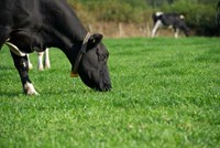 Optimising nutrition and rumen function to improve milk constituents (2014)