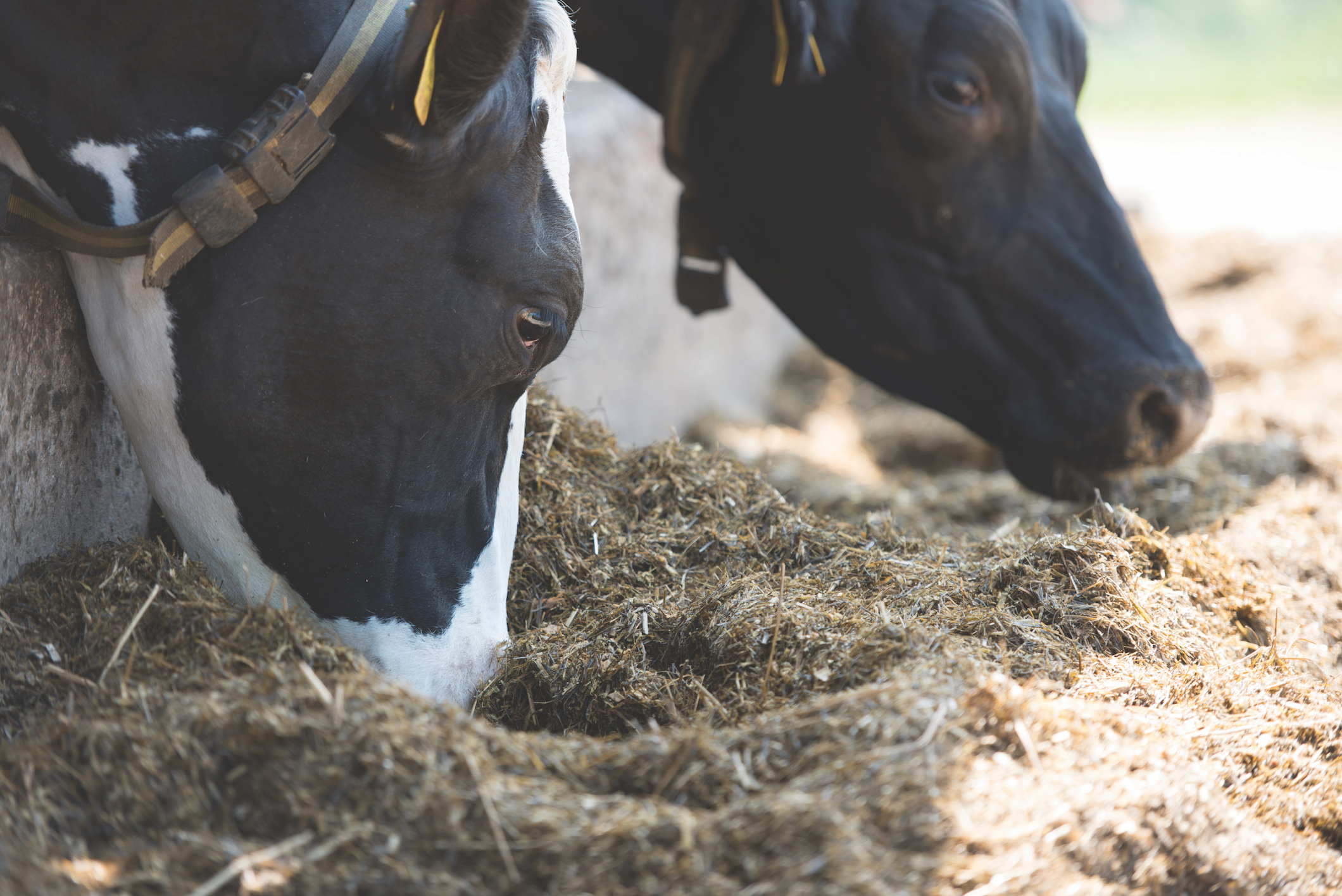 Feeding and managing your dairy herd & young stock this autumn and winter