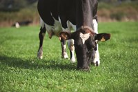 Maintain your herd's persistency during summer with Actisaf live yeast